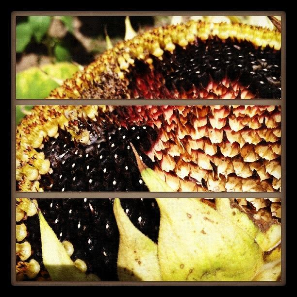 Sunflower Photograph - Sliced Sunflower by Gwyn Newcombe
