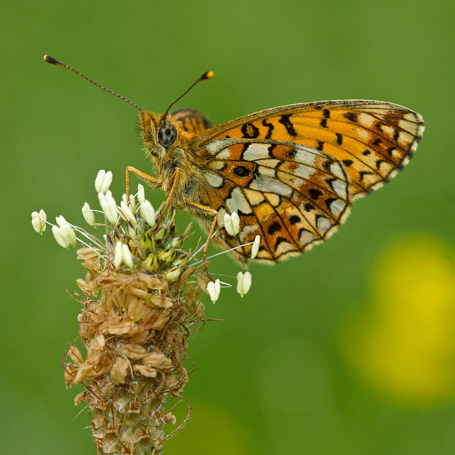 Spring Photograph - Small Pearl-bordered Fritillary by Anne Sorbes