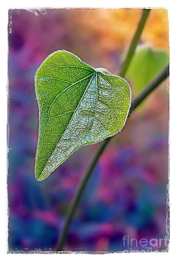 Leaf Photograph - Smilax by Judi Bagwell
