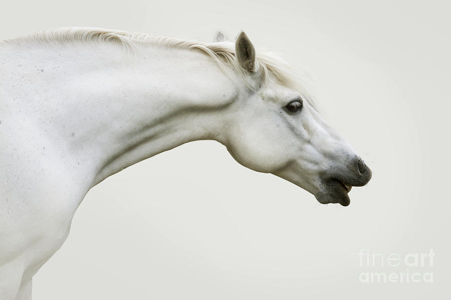 Grey Photograph - Smiling Grey Pony by Ethiriel  Photography