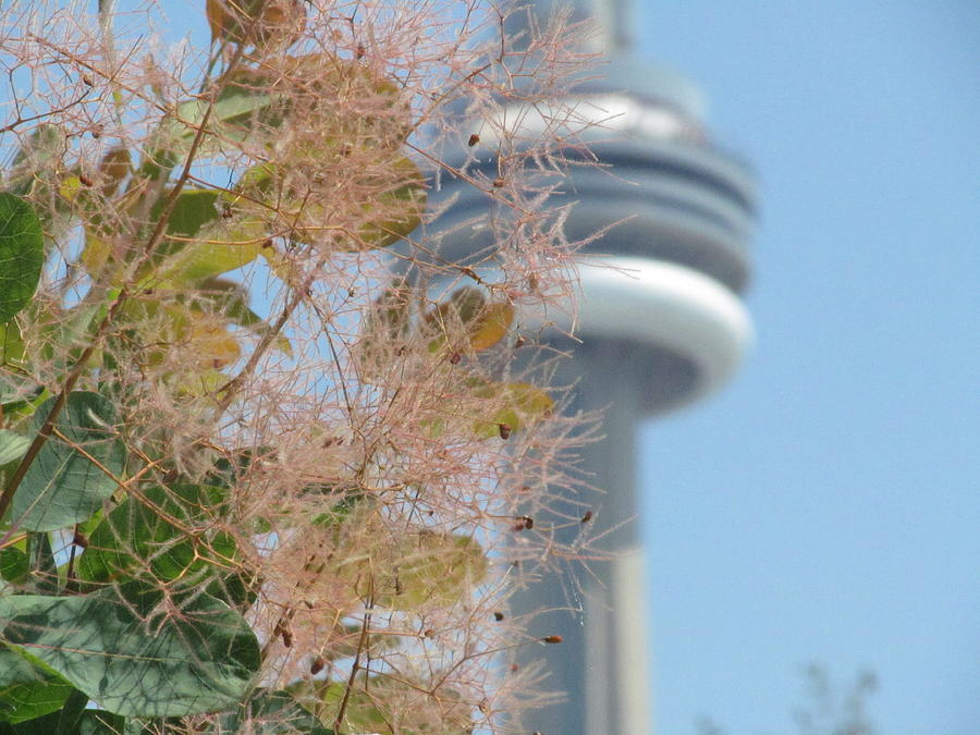 Cn Tower Photograph - Smoke Bush With Cn Tower by Alfred Ng