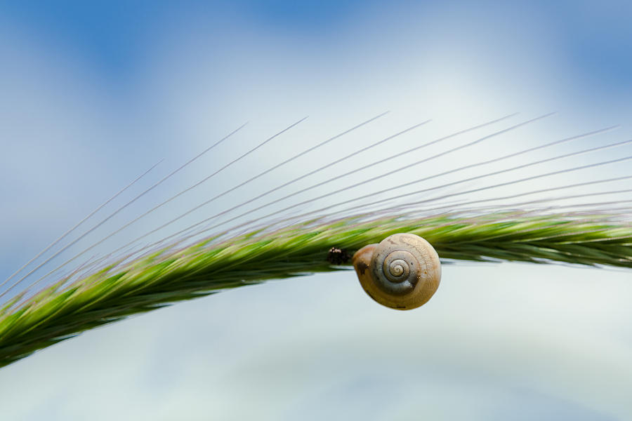 Climb Photograph - Snail on the spikelet by Michael Goyberg