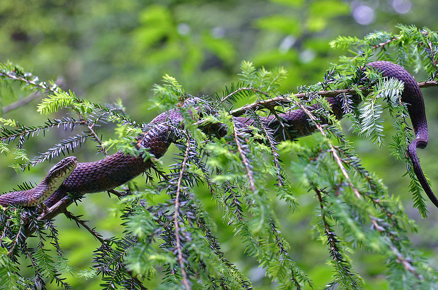 Snake In Tree Photograph