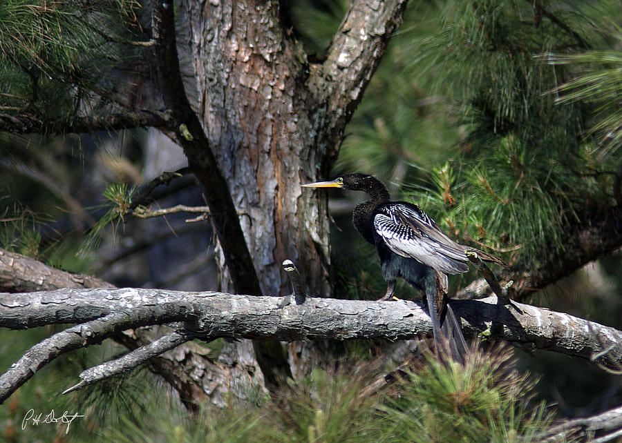 Anhinga Photograph - Snakebird At The Rookery by Phill Doherty