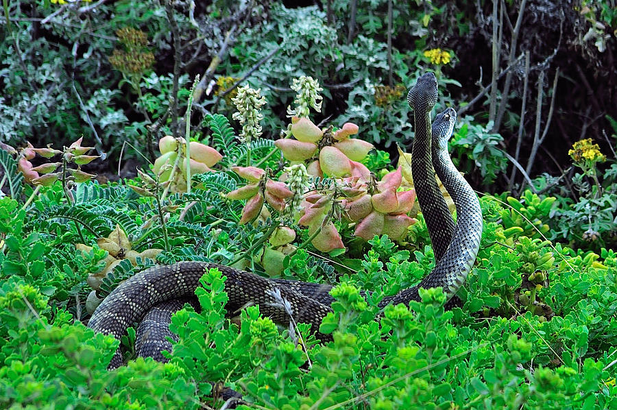 Snake Photograph - Snakes In The Grass by Richard Leon