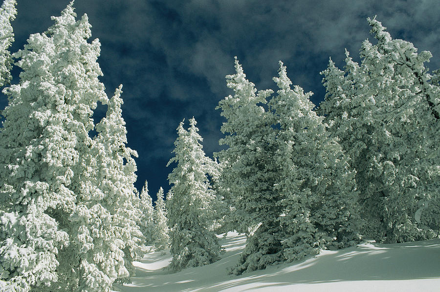 Snow Covered Evergreen Trees Photograph By Kate Thompson