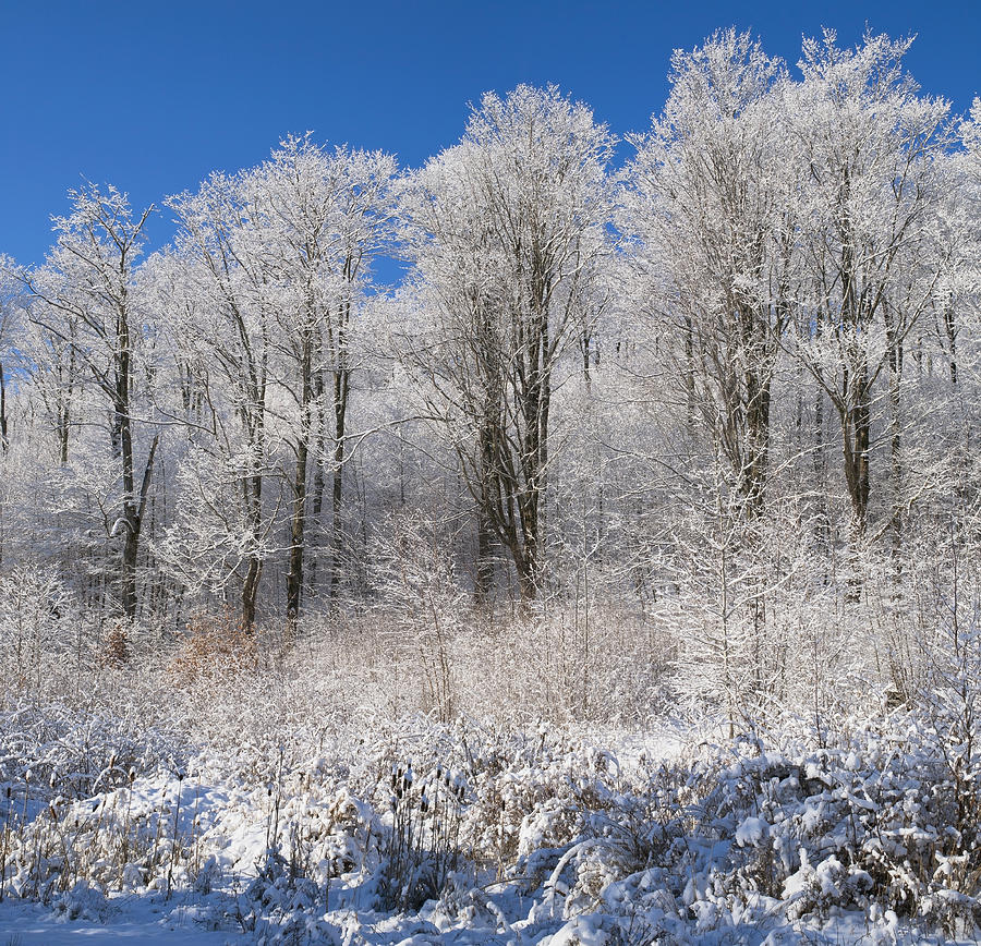 Blue Sky Photograph - Snow Covered Maple Trees Iron Hill by David Chapman