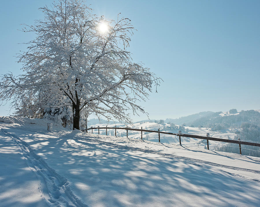 Snow Covered Tree With Sun Shining Through It Photograph