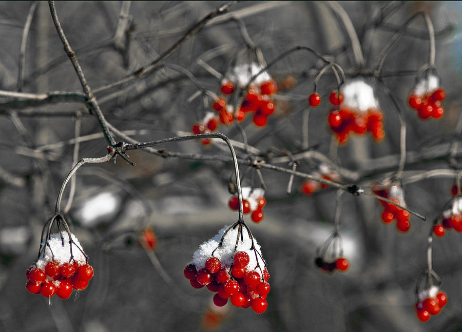Snow Covered Winter Red Berries Photograph By Leeann Mclanegoetz