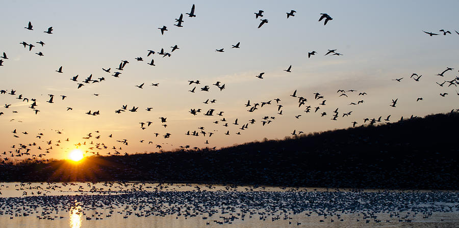 Snow Geese At Sunrise Photograph