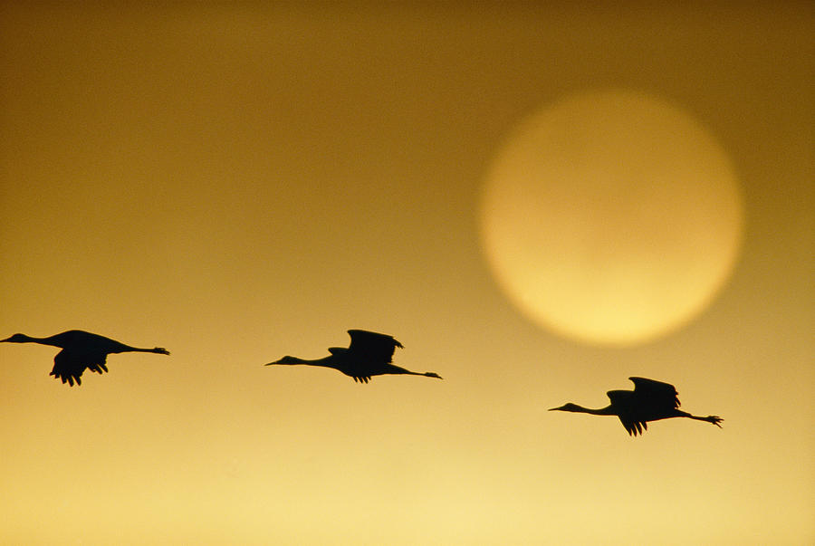 Snow Geese Flying By The Sun Photograph by Joel Sartore