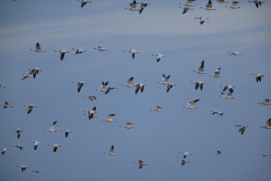 Delaware Photograph - Snow Geese In Flight by George Grall