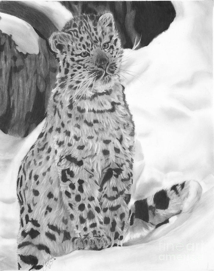 Snow Leopard Drawing By Christian Conner