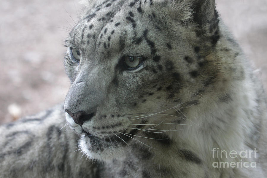 Snow Leopard Photograph - Snow Leopard Profile by Chris Hill