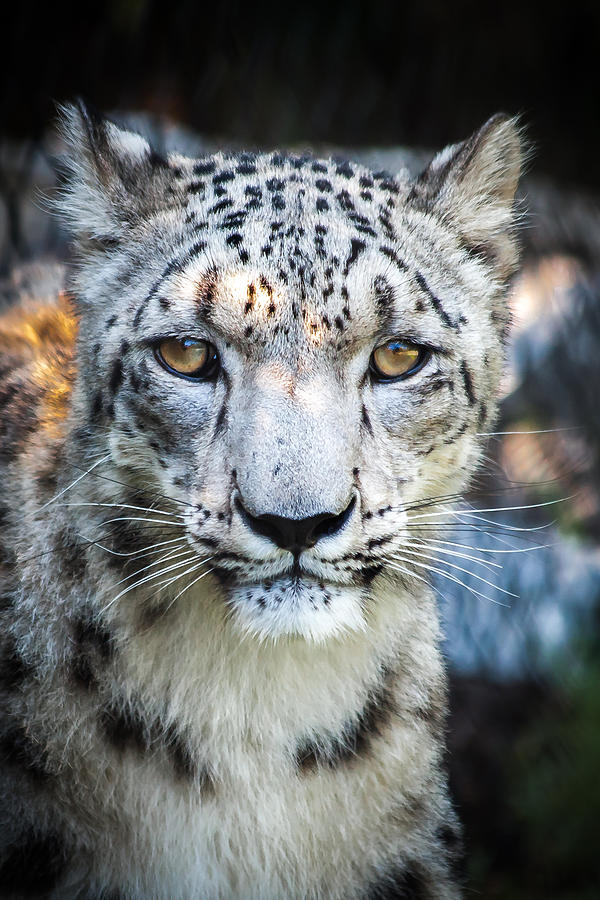 Snow Photograph - Snow Leopards Stare by Keith Allen