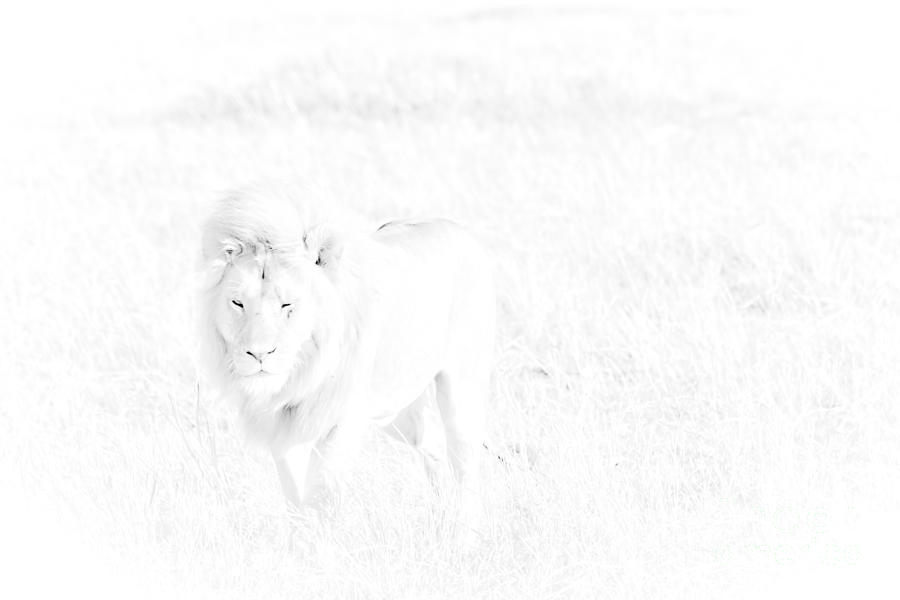 Africa Photograph - Snow Lion by Darcy Michaelchuk