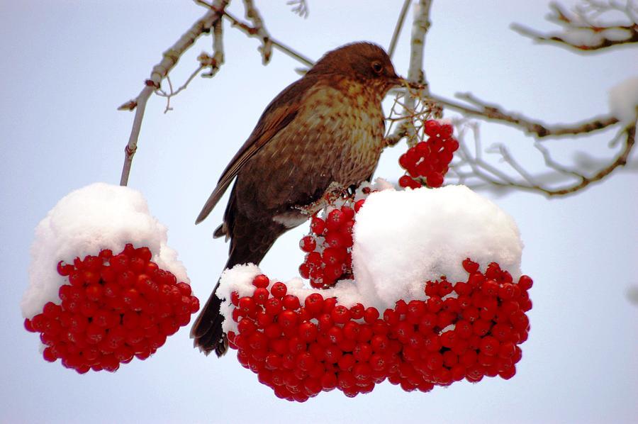 Snow On Rowan Berries Photograph by Meeli Sonn
