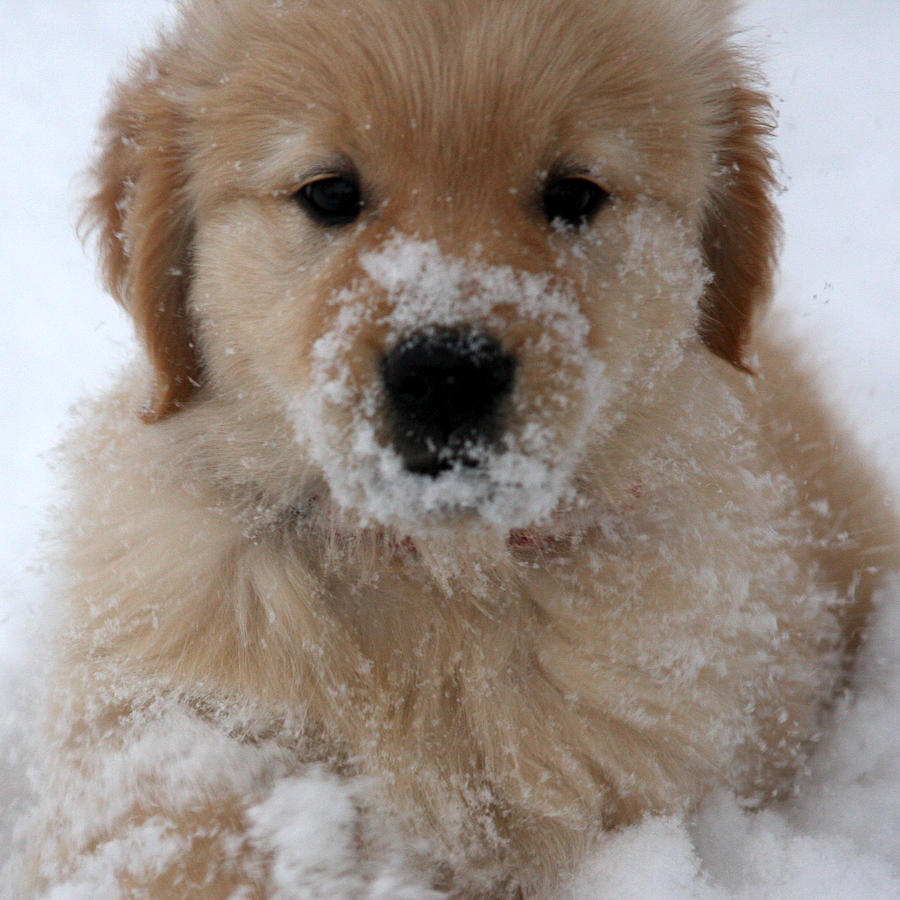 Snow Puppy Photograph By Marta Alfred