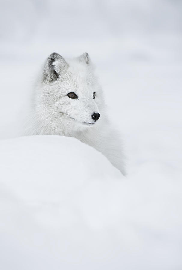 Arctic Fox Photograph - Snow Queen by Andy Astbury