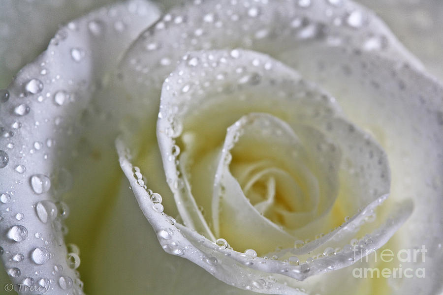 White Photograph - Snow White Rose by Tracy  Hall