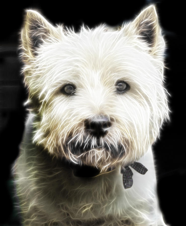 Dog Photograph - Snowball by Tilly Williams