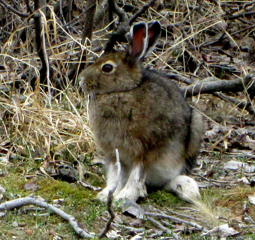Wildlife Photograph - Snowshoe Hare by Mark Caldwell
