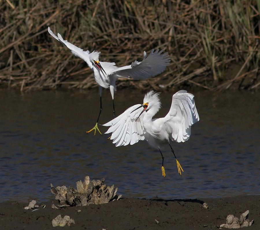 Snowy Egrets Photograph - Snowy Battle by Phil Lanoue