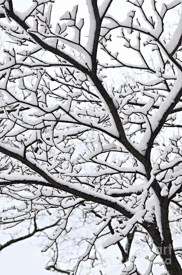 Winter Photograph - Snowy Branch by Elena Elisseeva