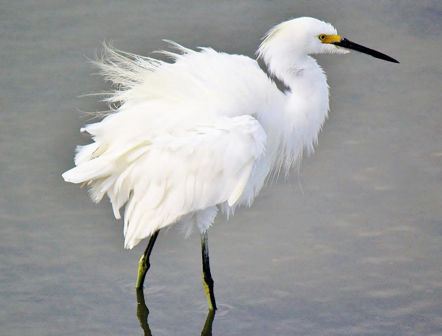 Snowy Egret Photograph - Snowy Egret All Fluffed Up by Paulette Thomas