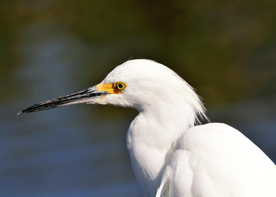 Snowy Photograph - Snowy Egret Close Up by Bill Dodsworth