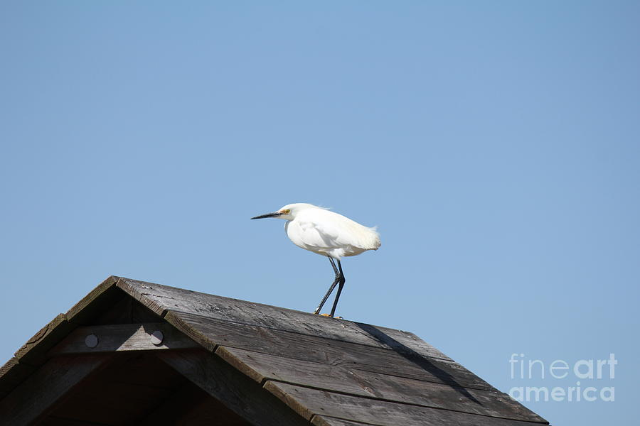 Snowy Egret Photograph - Snowy Egret by Scenesational Photos