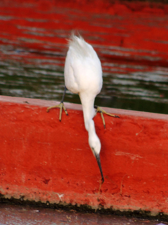 Snowy Egret - White Water Bird Near Boat Club Near India Gate New Delhi India On 2nd October 2012 Pyrography - Snowy Egret - White Water Bird by Ramesh Chand