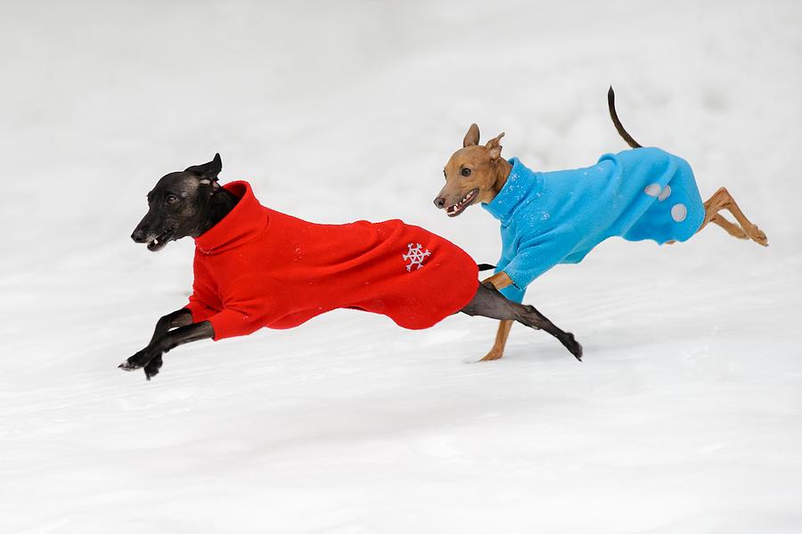 Italian Greyhound Photograph - Snowy Fun by Ari Salmela