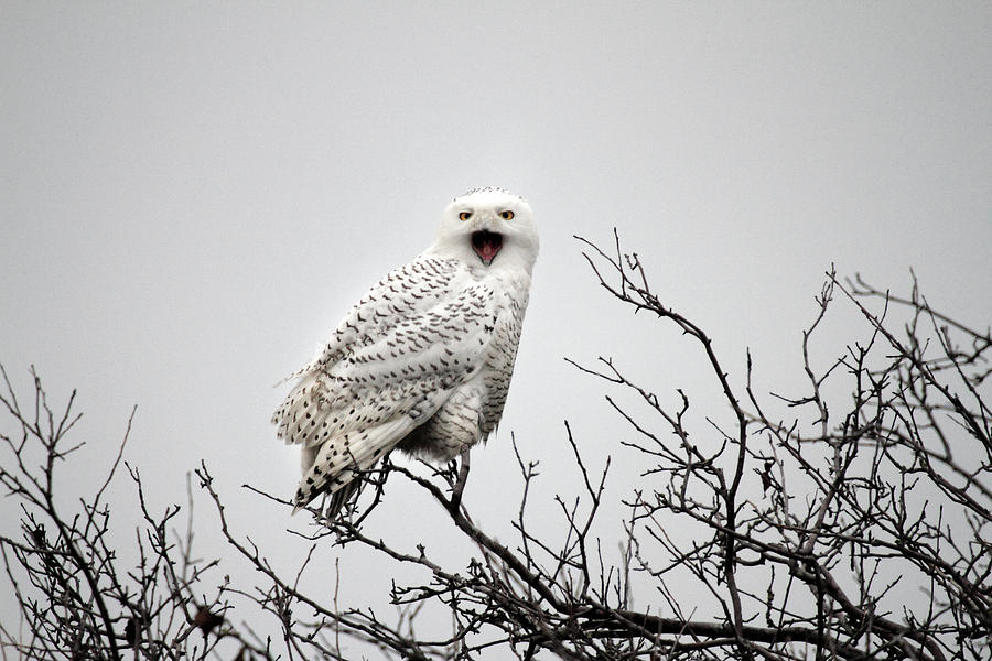snowy owl in a tree photograph by leclerc photography
