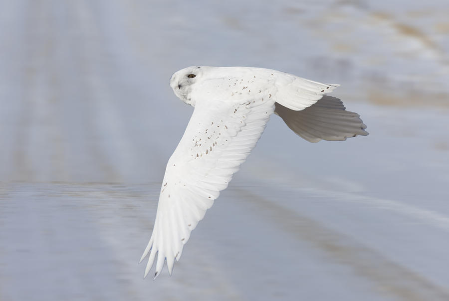 Snowy Owl In Flight In Saskatchewan Canada Photograph by Mark Duffy