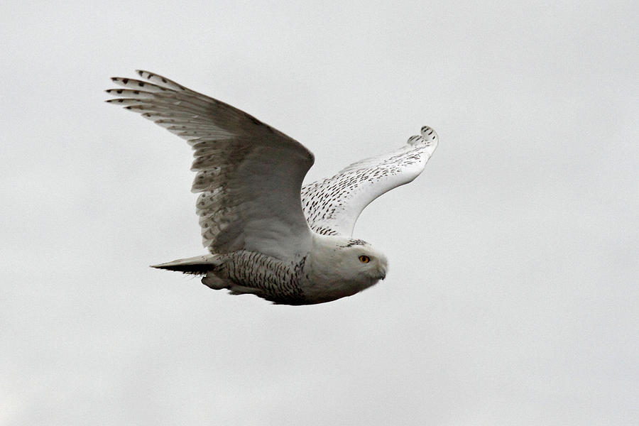 Snowy Owls Photograph - Snowy Owl In Flight by Pierre Leclerc Photography