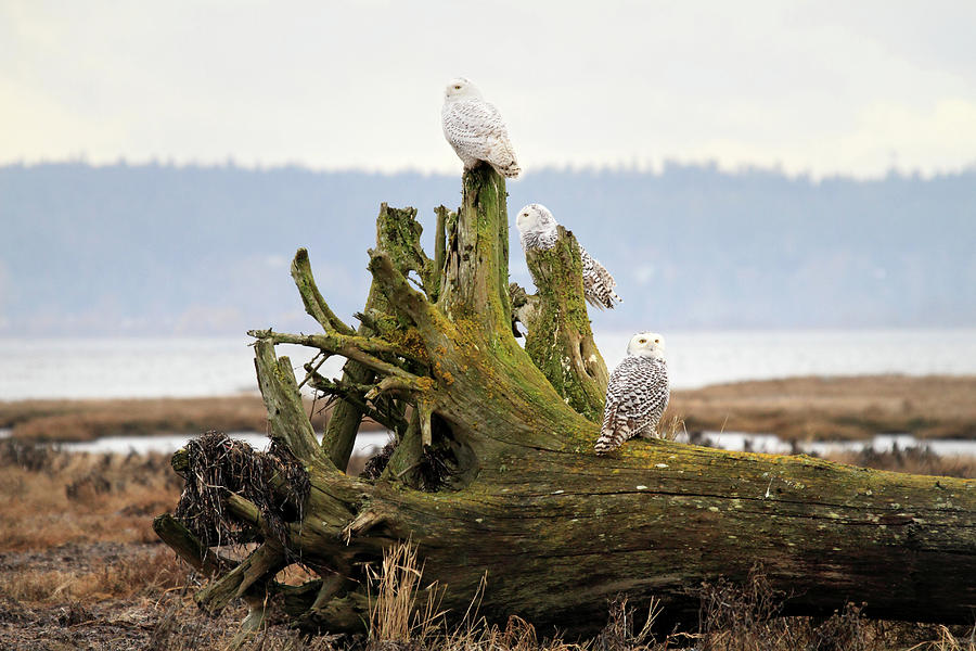 Snowy Owls Photograph - Snowy Owls by Pierre Leclerc Photography