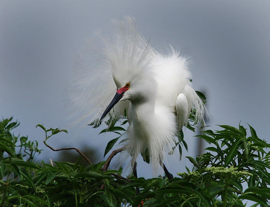 Egret Photograph - Snowy Stand Off by Skip Willits
