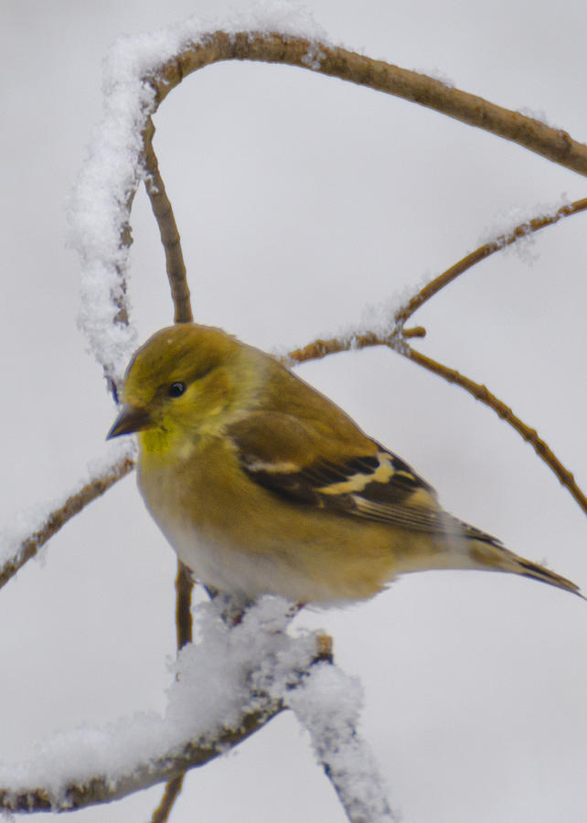 Usa Photograph - Snowy Yellow Finch by LeeAnn McLaneGoetz McLaneGoetzStudioLLCcom