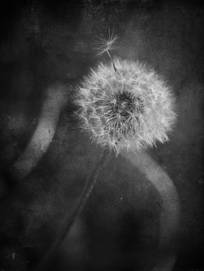 Dandelions Photograph - So Many Promises You Couldnt Keep by Laurie Search