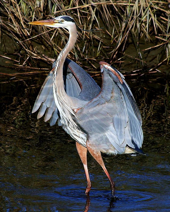 Great Blue Heron Photograph - So Pretty by Paulette Thomas