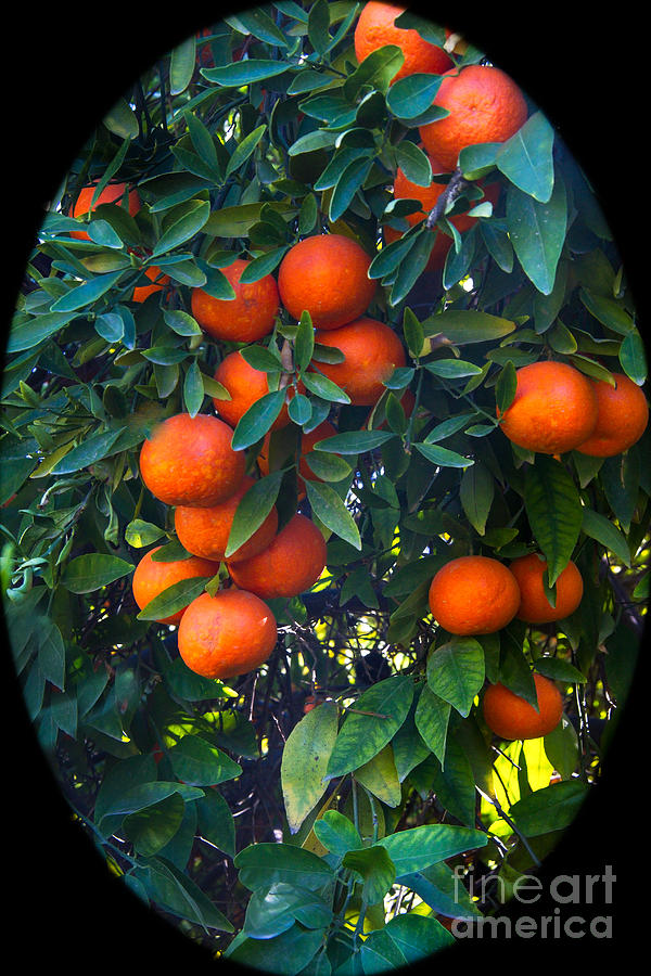 Oranges Photograph - So Sweet by Robert Bales
