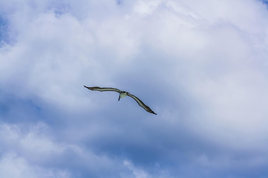 Sea Gull Photograph - Soar by Andrea  OConnell