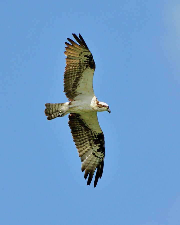 Osprey Photograph - Soaring Above by Bill Dodsworth