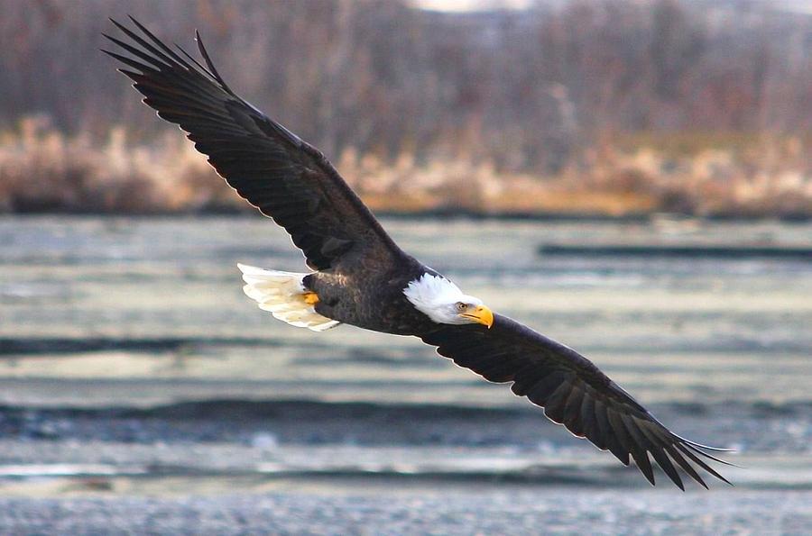 Bald Eagles Digital Art - Soaring Bald Eagle by Carrie OBrien Sibley