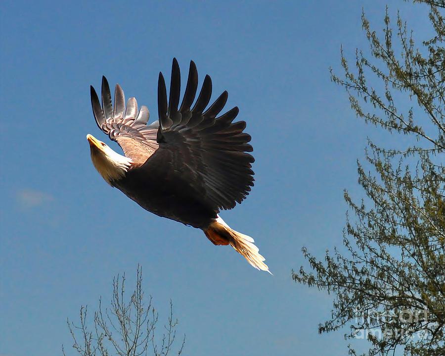 Bald Eagle Photograph - Soaring by Jack Moskovita