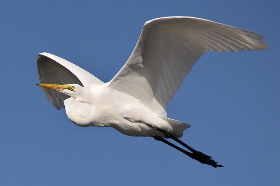 Great White Egret Photograph - Soaring by Paulette Thomas