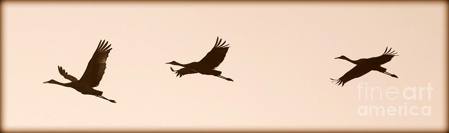 Cranes Photograph - Soaring Sandhills Silhouette by Carol Groenen