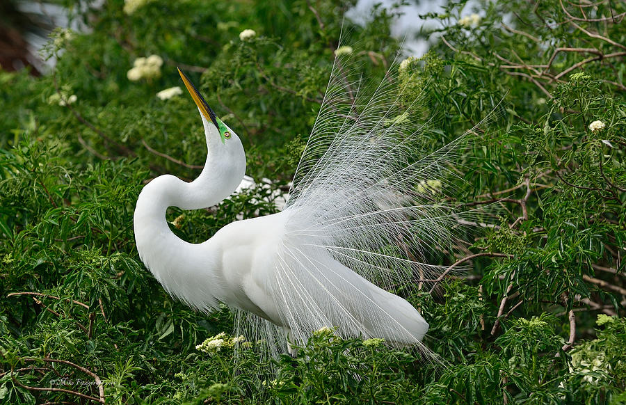 Great White Egret Photograph - Soft Display by Mike Fitzgerald