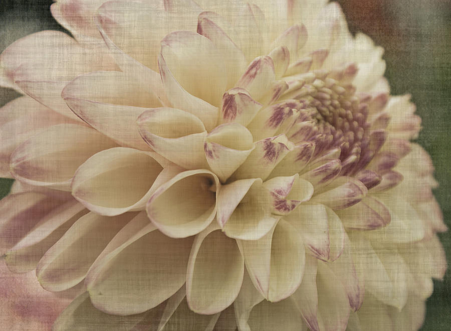 Dahlia Photograph - Soft Lady by Terrie Taylor